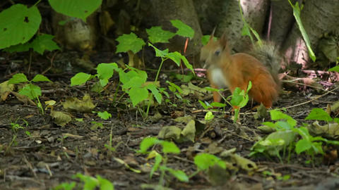 Squirrel sitting in the bushes Stock Video Footage