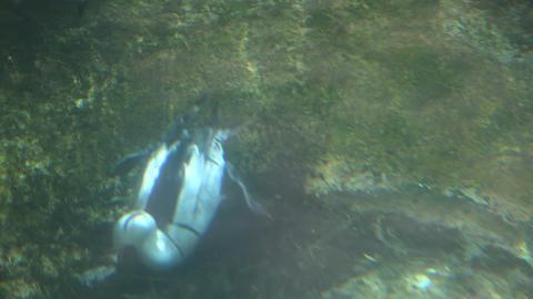 Duck feeding on the ground underwater Stock Video Footage
