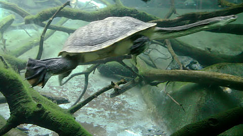 Snake-necked turtle swimming underwater Footage