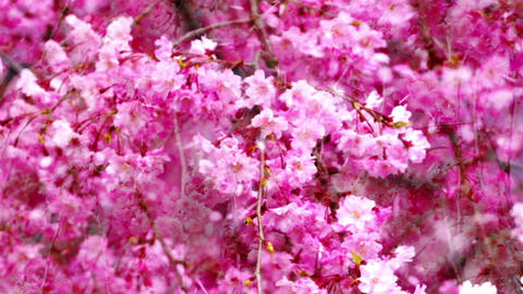 Cherry Blossoms342 Stock Video Footage