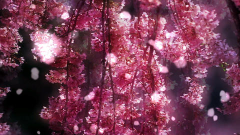 Cherry Blossoms 34771 Stock Video Footage