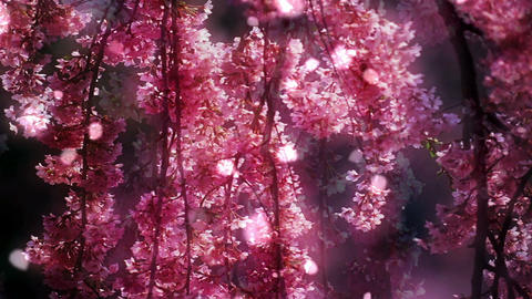 Cherry Blossoms 34771 Animation
