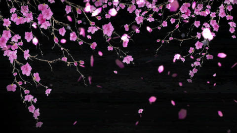 cherry blossoms 31316 Stock Video Footage