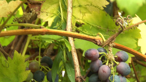 grapes 1 Stock Video Footage