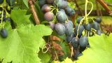 Grapes 1 stock footage