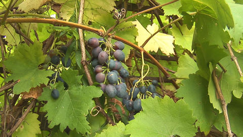 grapes 3 Stock Video Footage