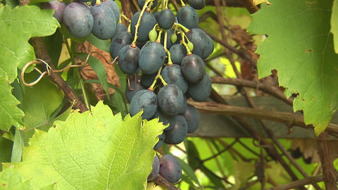 grapes 5 Stock Video Footage
