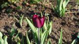magenta tulip Footage