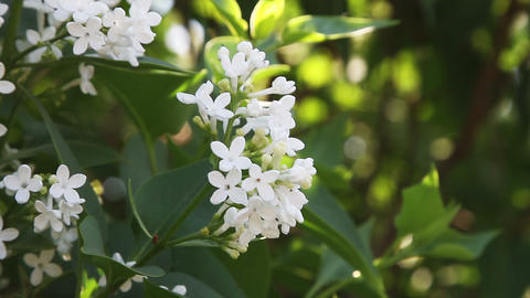 white lilac Stock Video Footage