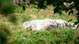 White tigress and cub Stock Video Footage