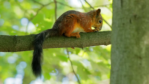 Squirrel sitting on a branch Stock Video Footage