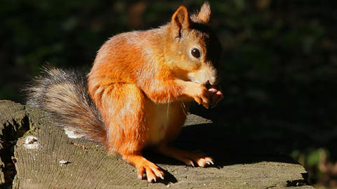 Squirrel itching Stock Video Footage