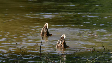 Two ducks diving Stock Video Footage