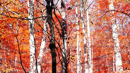 Tree trunks in autumn with falling copper-coloured leaves, tilt up Footage