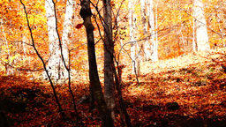 Tree trunks in autumn with falling copper-coloured leaves Footage