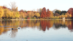 Quiet Autumn Afternoon In The Park. Trees With Golden And Red Leaves, Ducks, Gul stock footage