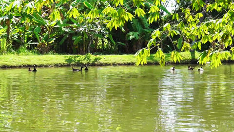 Ducks Swimming in lake with lush green nature Footage