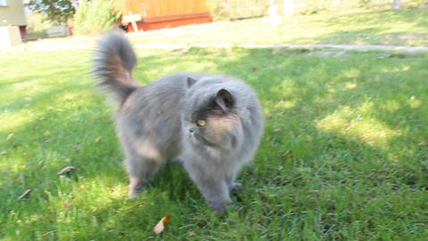 Persian cat going for a walk on the green grass Live Action