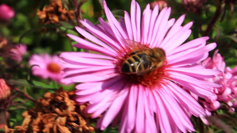 bee collects nectar on the aster Footage