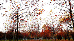 Tree trunks lined, november, park, panoramic Footage
