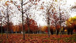 Tree trunks lined, november, park, panoramic Footage