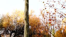 Maple tree tilt up Footage