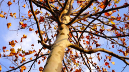 Maple tree from low angle, rotation Footage