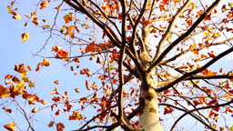 Maple Tree From Low Angle, Rotation stock footage