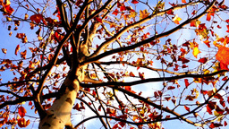 Maple tree from low angle, tripod rotation Footage