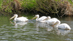 Group of great white pelicans on a lake. Pelecanus onocrotalus Footage