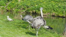 Stork and ostrich on a meadow Footage