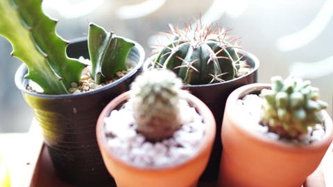 Cactus sprout in pots nursery decorative small botany garden Footage