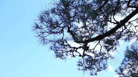 Tall pine green tree swing in the wind from bottom view with blue sky cloud back Footage