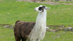 The llama, lama glama 03 Live Action