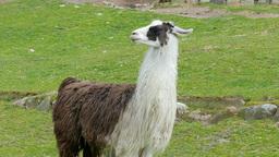 The llama, lama glama 03 Footage