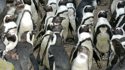 The African penguin. Spheniscus demersus Live Action