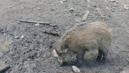 The wild boar (Sus scrofa) Live Action