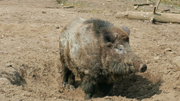 The wild boar (Sus scrofa) is preparing den Footage