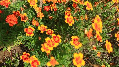 beautiful flowers of marigolds Footage