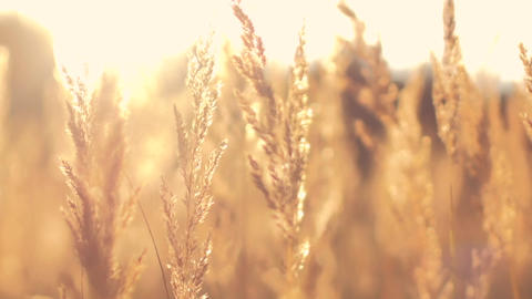 Field Of Gold Grass During Sunset stock footage