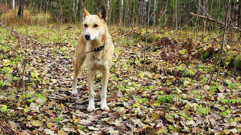 Dog In The Autumn Forest Footage