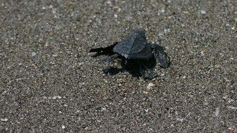 Baby turtle reached the sea after birth Footage