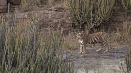 Tigers- 3 1