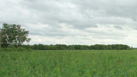 Movement of clouds over the hemp field, Full HD Footage