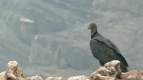 A vulture on the edge of the Masaya volcano Footage