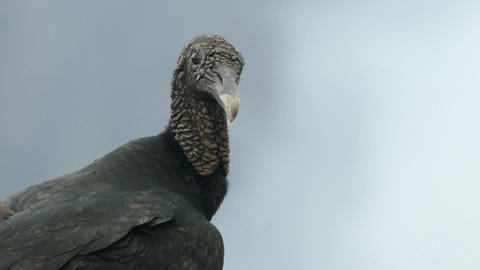A vulture on the edge of the Masaya volcano Stock Video Footage