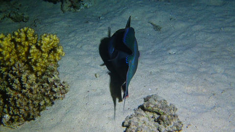 Blue or rippled triggerfish at night Footage