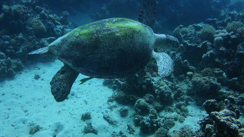 close up of a giant turtle in the sea, red sea Footage