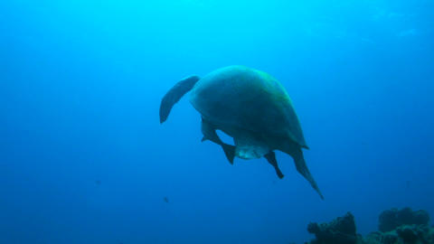 Slowmotion of a giant turtle comes to the surface Footage