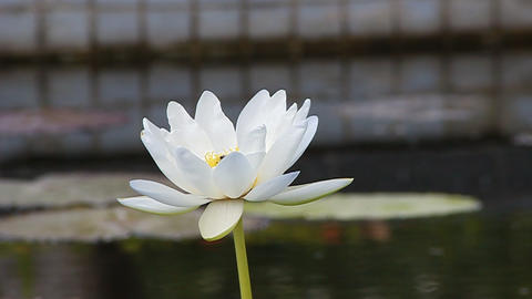 Footage - Beautiful Lotus In The Pool stock footage